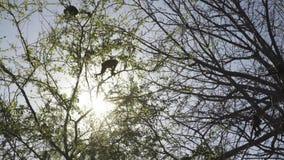 En familj av lösa grodaapor i ett träd på soluppgång stock video