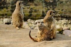 En familj av meerkats Royaltyfri Bild