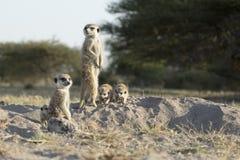 En familj av meerkats arkivbilder