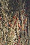 En familj av röda nyckelpigor på skället av eken royaltyfri foto