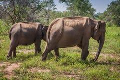 En familj av srilankesiska elefanter inklusive en sällsynt tusker i nationalpark royaltyfri foto