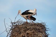 En familj av storkar förbereder deras rede Arkivbilder