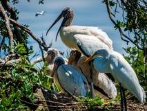 En familj av storkar och en ägretthäger Arkivfoto
