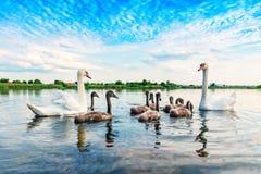 En familj av svanar arkivfoto