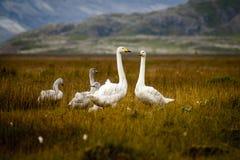 En familj av svanar Arkivbilder