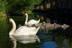 En familj av svanar på ett damm royaltyfri fotografi