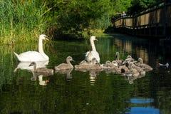 En familj av svanar på ett damm royaltyfria foton