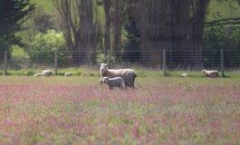 En familj av vita sheeps står i den rosa landscapen för blommafältet royaltyfria foton