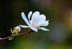 En fantastisk blomningmagnolia Royaltyfri Bild