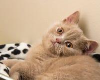 En Fawn British Shorthair Kitten Fotografering för Bildbyråer