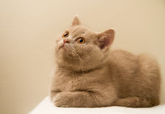 En Fawn British Shorthair Kitten Royaltyfri Foto