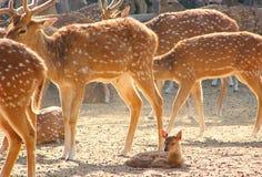En Fawn Kid av prickiga hjortar Chital i zoo, Jaipur, Rajasthan, Indien Royaltyfria Bilder