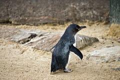 En felik pingvin arkivbilder