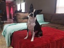 En femårig kvinnligBoston terrier arkivfoto