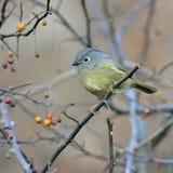 En fet flyttfågel Arkivbilder