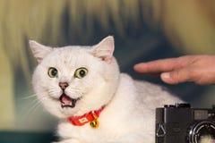En fet katt med ett rikt uttryck royaltyfri fotografi