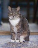 En fet katt sitter på golvet Arkivfoto