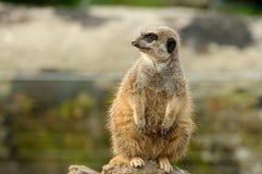 En fet meerkat Arkivfoto