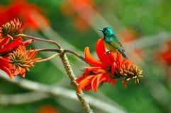 En fågel på en röd blomma, Sydafrika Arkivfoton