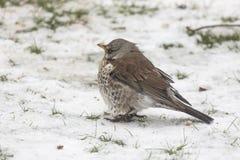 En Fieldfare på en snöig bakgrund fotografering för bildbyråer