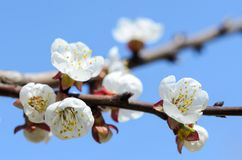 En filial av aprikosträdet i blom Royaltyfri Foto