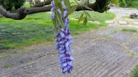 En filial av blomningwisteriaen Royaltyfria Foton