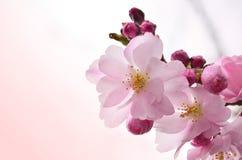 En filial av delikata rosa blommor Arkivbild