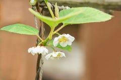 En filial av den kinesiska magnoliavinrankalaten Schisandra chinensis blommor arkivfoto