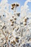 En filial av djupfrysta blommahuvud stod tillsammans i dimman av vintern Fotografering för Bildbyråer