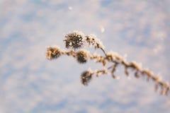 En filial av djupfrysta blommahuvud stod tillsammans i dimman av vintern Royaltyfri Fotografi