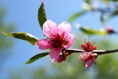 En filial av en blomstra persika Royaltyfri Fotografi