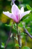 En filial av en magnolia på en suddig bakgrund Royaltyfri Bild