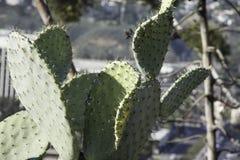 En filial av en mycket gammal kaktusväxt för taggigt päron Arkivbilder