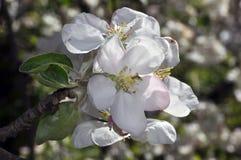 En filial av en vår som blomstrar äppleträdet Arkivfoton