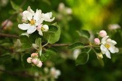 En filial av ett äppleträd med vita blommor och knoppar, i fruktträdgårdar royaltyfri fotografi