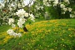 En filial av ett äppleträd med vita blomstra blommor och maskrosor royaltyfri foto