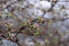 En filial av ett äppleträd som börjar att blomma med rosa rosa blommor royaltyfri bild