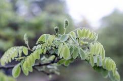 En filial av ett akaciatr?d med unga gr?na sidor efter regnet Stort i mitten royaltyfri foto
