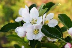 En filial av ett blomstra äpple Arkivfoto