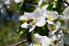 En filial av ett blomstra äpple Arkivfoton