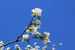 En filial av ett blomstra äppleträd som sträcker in mot solen royaltyfri foto