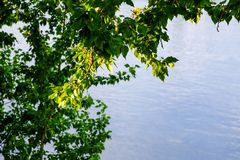 En filial av ett ungt träd, gräsplansidor gungning i vinden Sommar På bakgrunden av floden royaltyfria bilder