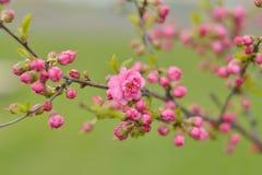 En filial av körsbärsröda blomningar Royaltyfri Fotografi