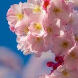 En filial av k?rsb?rsr?da blomningar blomma Cherry fotografering för bildbyråer