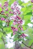En filial av lilan Royaltyfria Foton