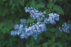 En filial av lilan med blåa blommor på våren fotografering för bildbyråer