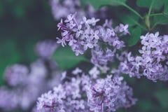En filial av lilan med violeten blommar på våren royaltyfria bilder
