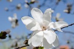 En filial av magnoliaträdet i blom Arkivbilder