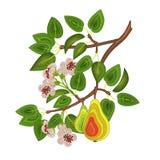 En filial av päronträdet med sidor, blommor och päron Beståndsdel för garnering vektor illustrationer