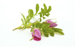 En filial av Rosa på whiten Royaltyfria Foton